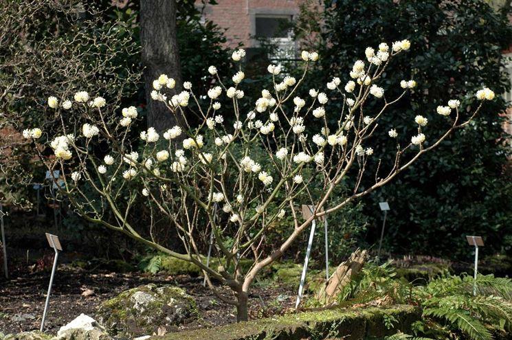 Edgeworthia chrysantha fiorita