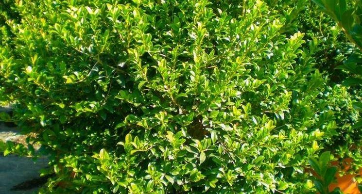 L'arbusto Eugenia myrtifolia