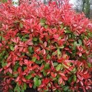 photinia in vaso