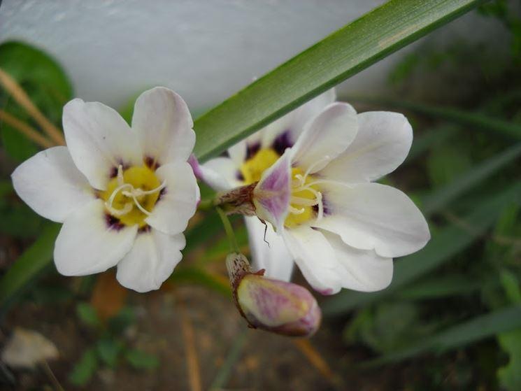 Fresie bianche fioritura