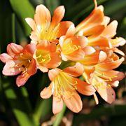 fresie fiori