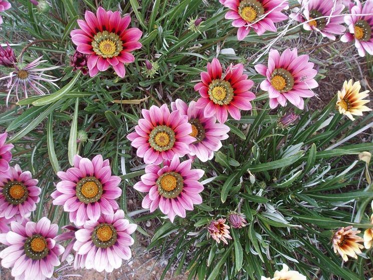 Esemplari fiori