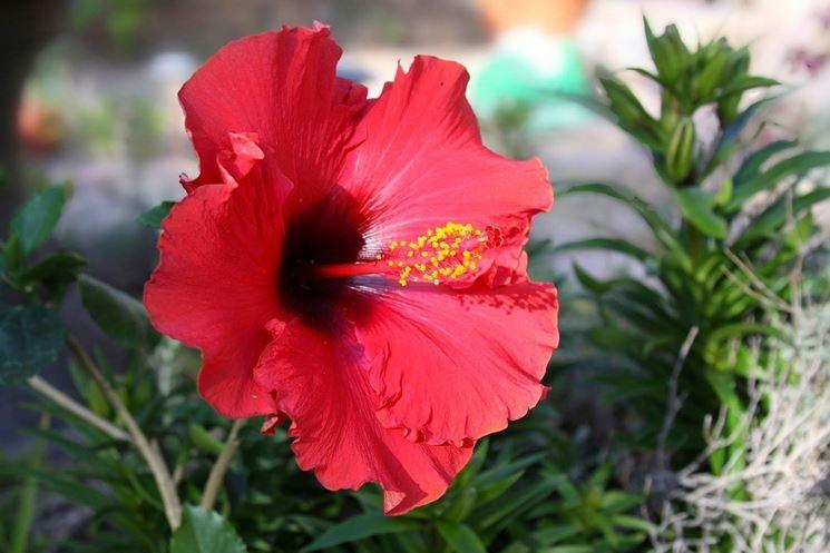 Esempio d'infiorescenze Hibiscus rosa sinensis.