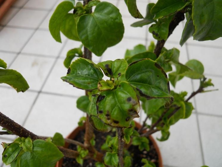 foglie malate
