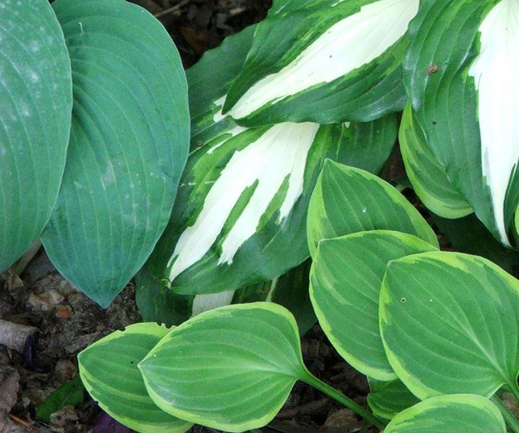 foglie di hosta