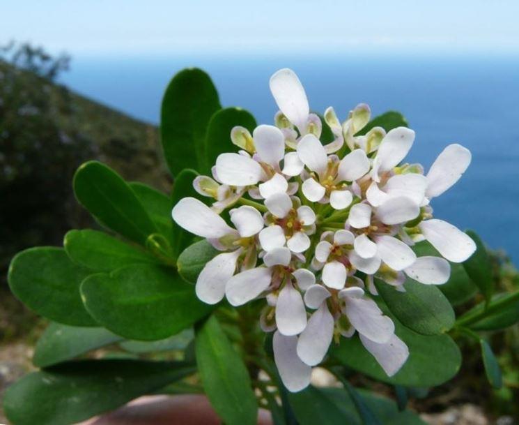 Fiori iberis semperflorens