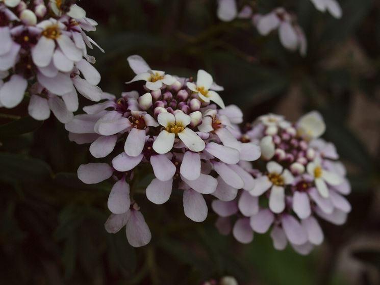 Iberis fioritura
