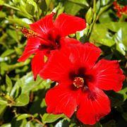 Fiore di Ibisco rosso.