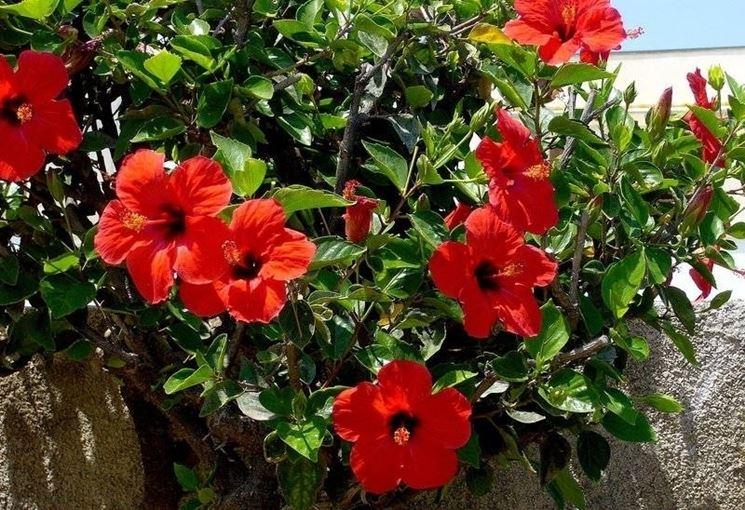 Dettaglio fiore Ibisco rosso.