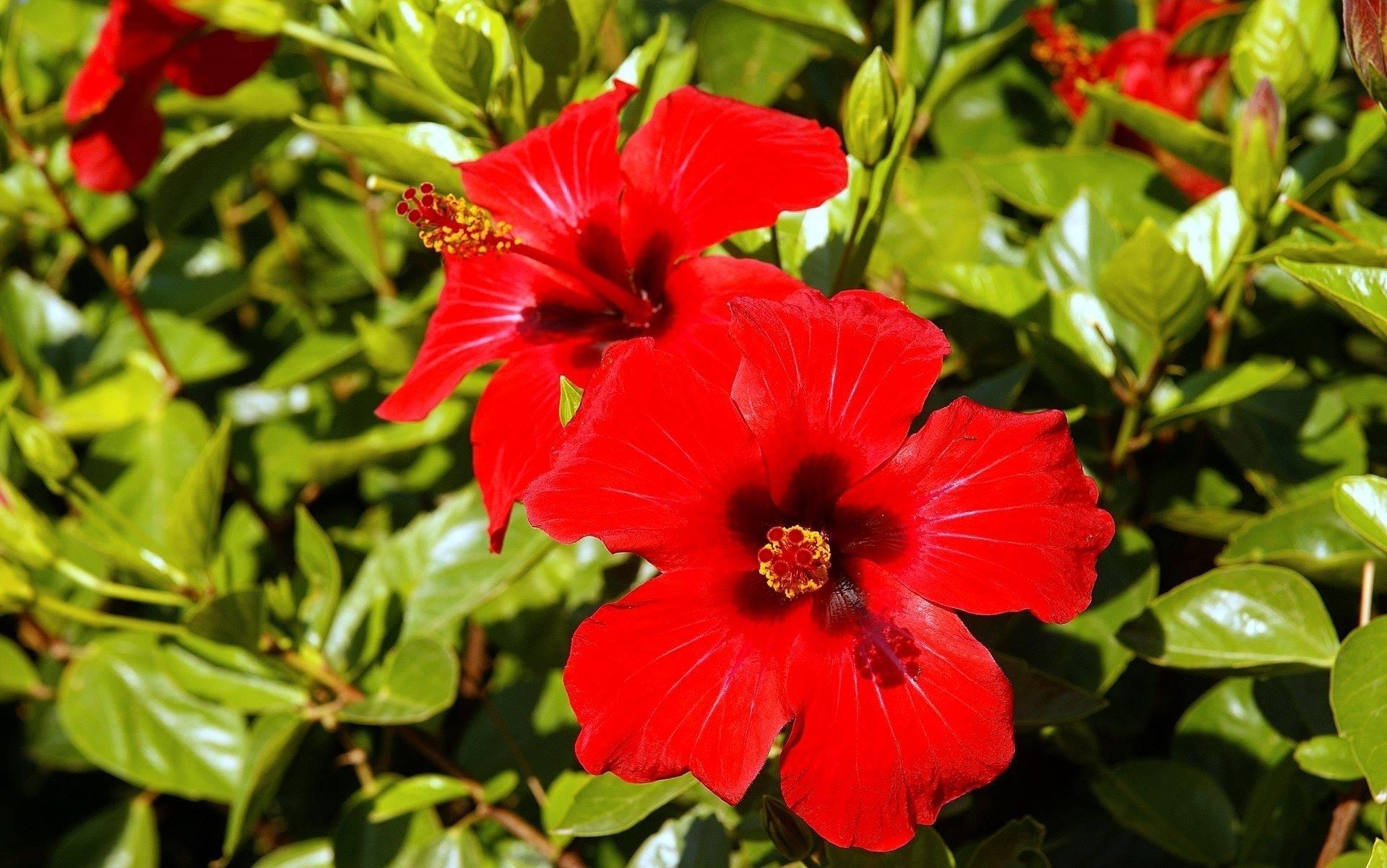 Ibisco domande e risposte giardino for Ibisco rosso