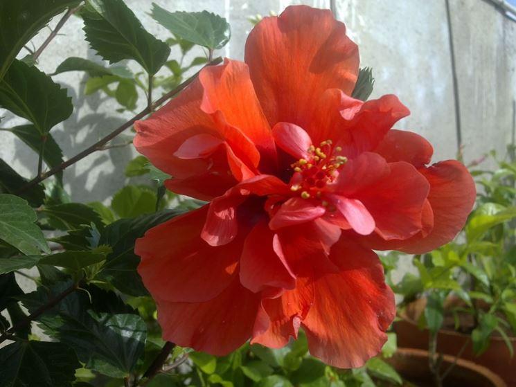 Fiore doppio di ibisco