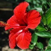 ibisco fiore