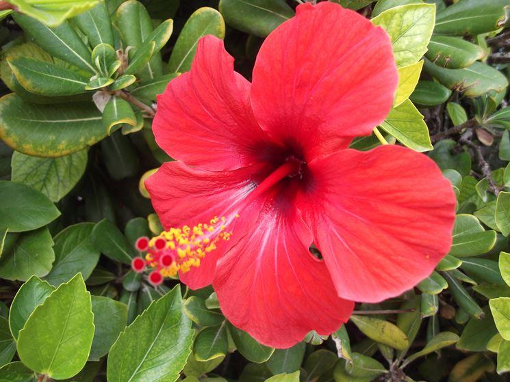 Fiore di ibiscus