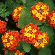 Lantana fioritura