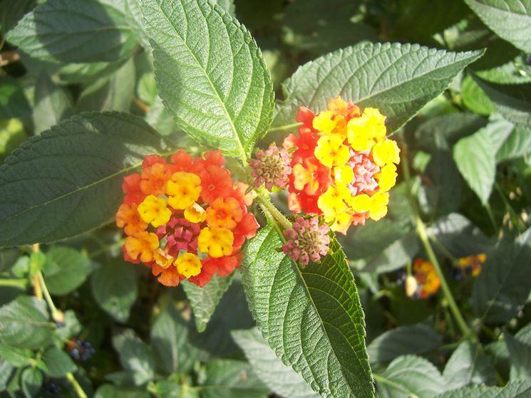 Esemplare lantana fiore