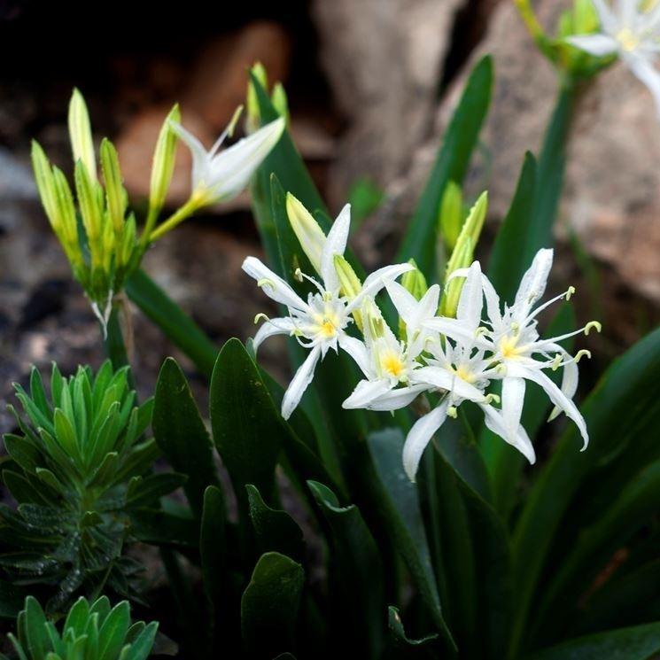 Coltivare lilium giardino