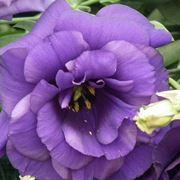 lisianthus lilla