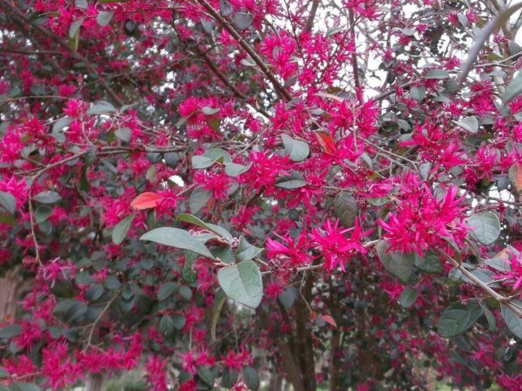 Fiori foglie loropetalum