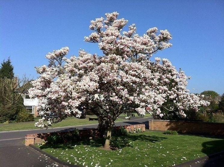 Magnolia a foglie caduche piante da giardino magnolia for Magnolia pianta prezzi