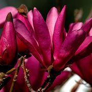Fiori magnolia