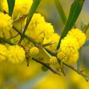 mimosa pianta