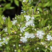 Pianta di mirto in fioritura
