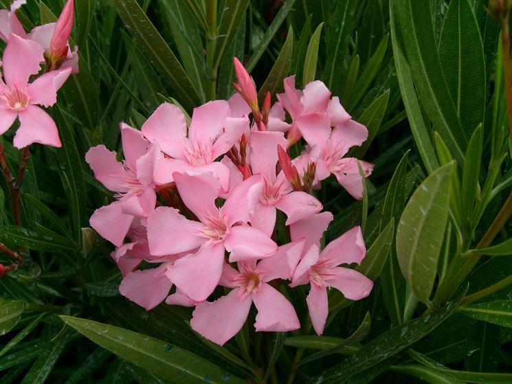 oleandro fiorito a giugno