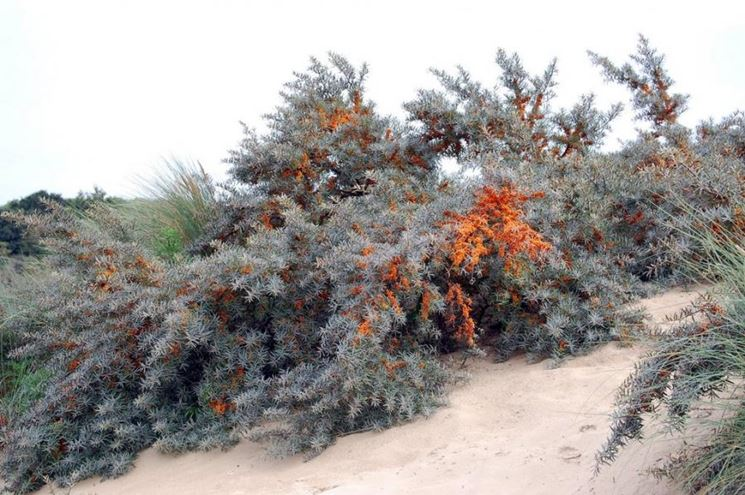 Arbusto bacca