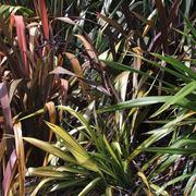 Fogliame piante Phormium