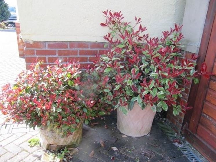 Siepe di Photinia in vaso
