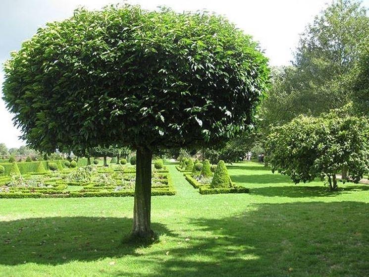 Pianta alloro piante da giardino caratteristiche della for Pianta della foresta di pioppo