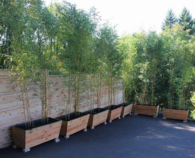 pianta del bamboo piante da giardino conoscere la