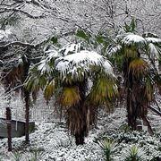 La Trachycarpus in inverno