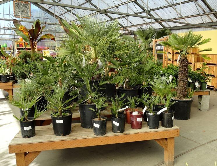 varietà di palma in vivaio
