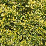 piante sempre verdi