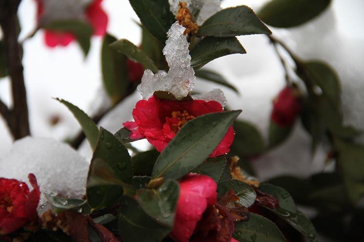 Piante da giardino invernali piante da giardino piante invernali per esterno - Camelia pianta da esterno ...