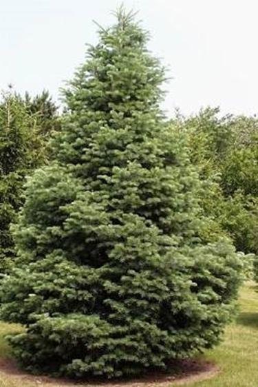 Piante da giardino sempreverdi piante da giardino for Alberi ornamentali sempreverdi da giardino