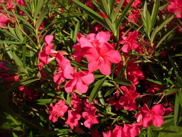 Piante da giardino sempreverdi piante da giardino for Piante verdi perenni da giardino