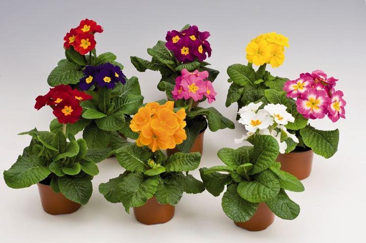 Piante in vaso da esterno piante da giardino piante da for Piante fiorite perenni da esterno