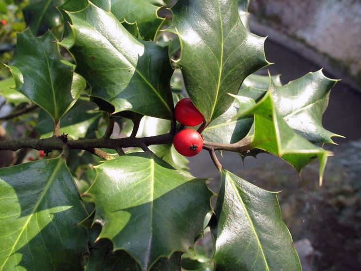 Piante invernali da esterno piante da giardino fiori for Piante cespugli da giardino