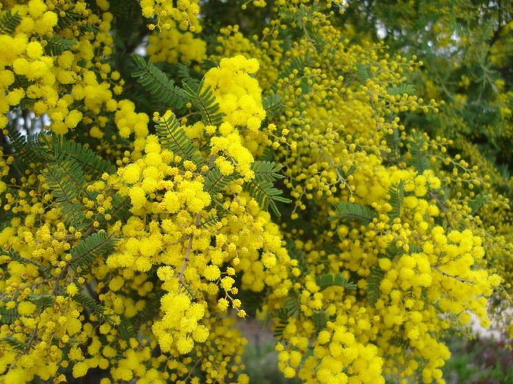 Piante ornamentali da giardino piante da giardino for Piante cespugli da giardino