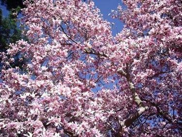 Piante ornamentali piante da giardino piante da ornamento - Alberi da giardino a crescita rapida ...