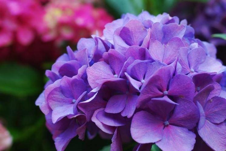 ortensia viola
