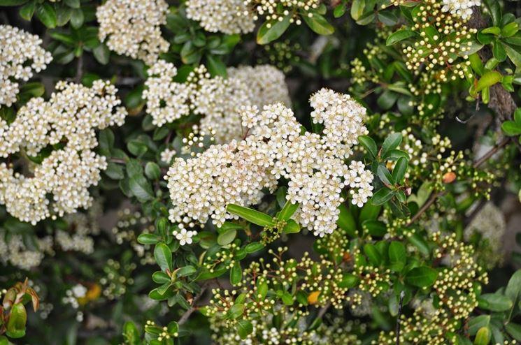Piracanta piante da giardino pianta di piracanta for Piante da cespuglio
