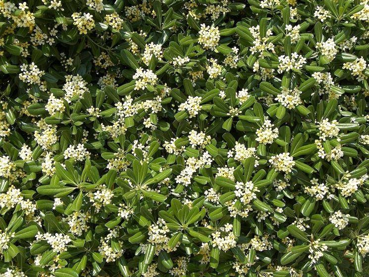 pittosforum flowers