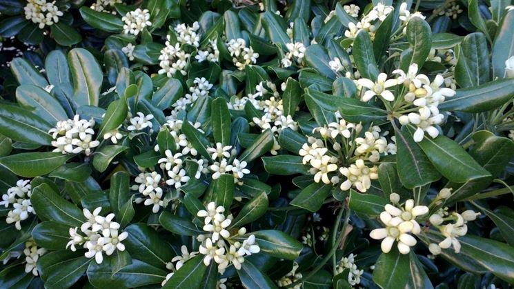 Pitosforo piante da giardino pitosforo pianta - Piante da giardino profumate ...