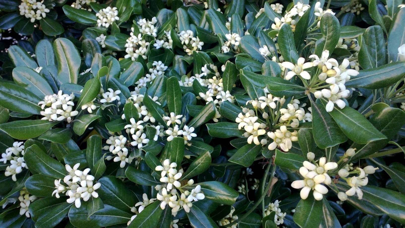 Piante Da Siepi Immagini pitosforo - piante da giardino - pitosforo pianta