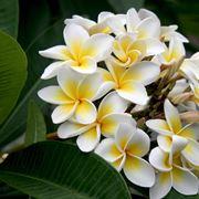 fiore plumeria