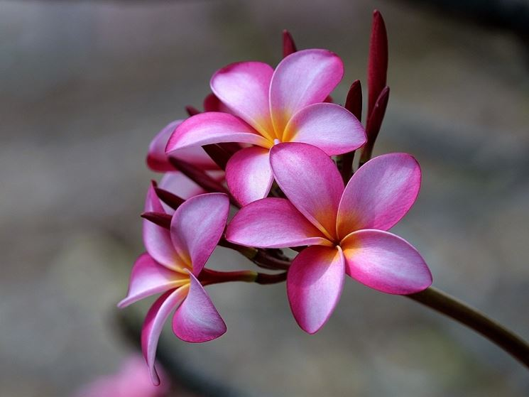 pianta plumeria