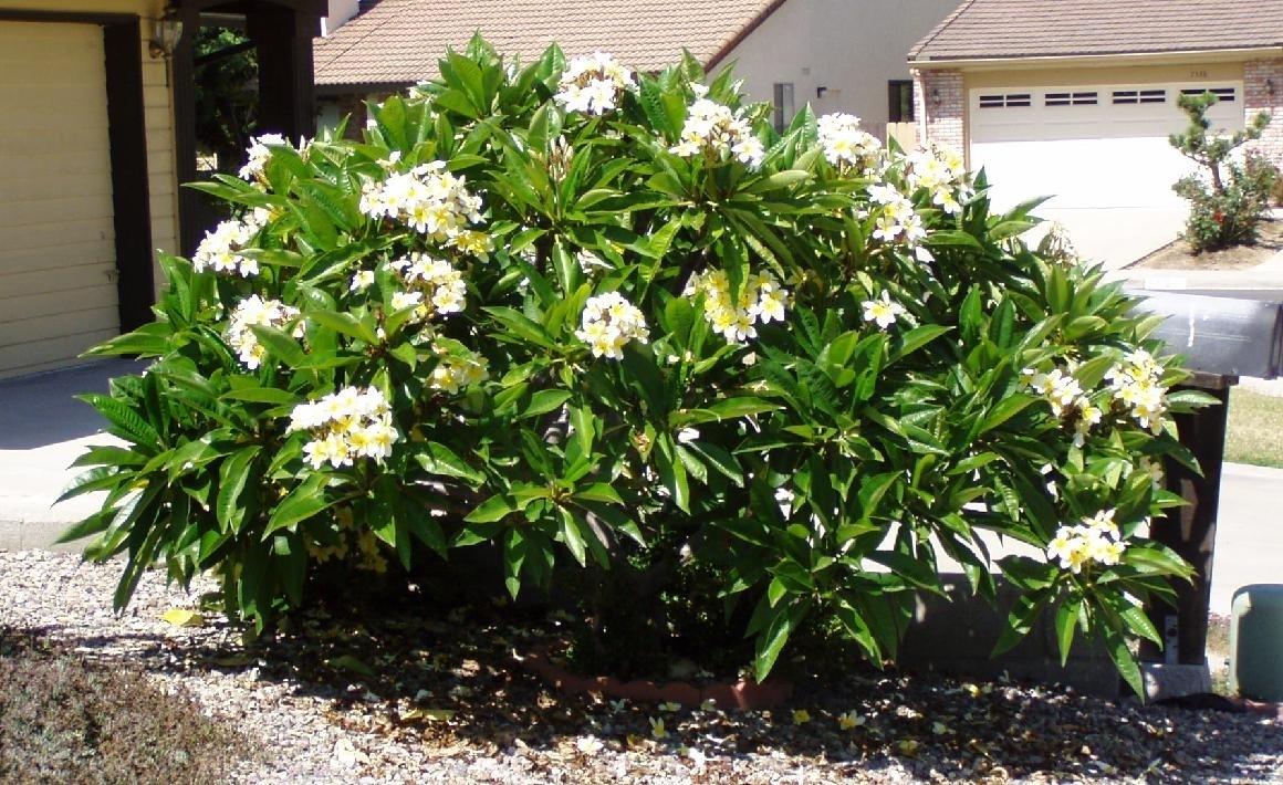 Plumeria frangipane piante da giardino for Piante da giardino tropicali
